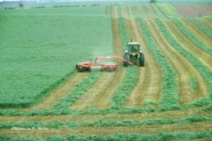 alfalfa-cutting